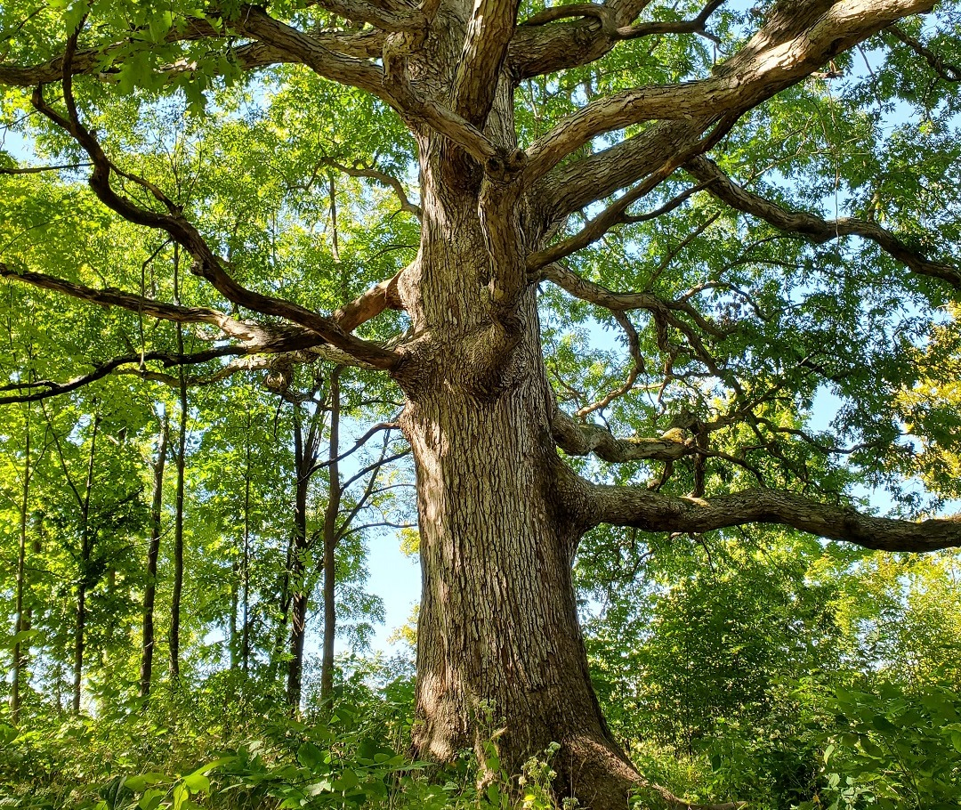 Large Mature Tree In The Forest